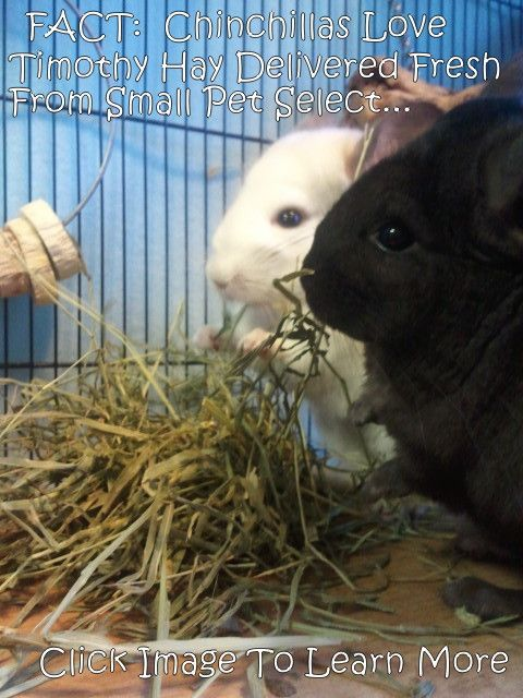 10 Chinchilla Facts about your chinchillas. These