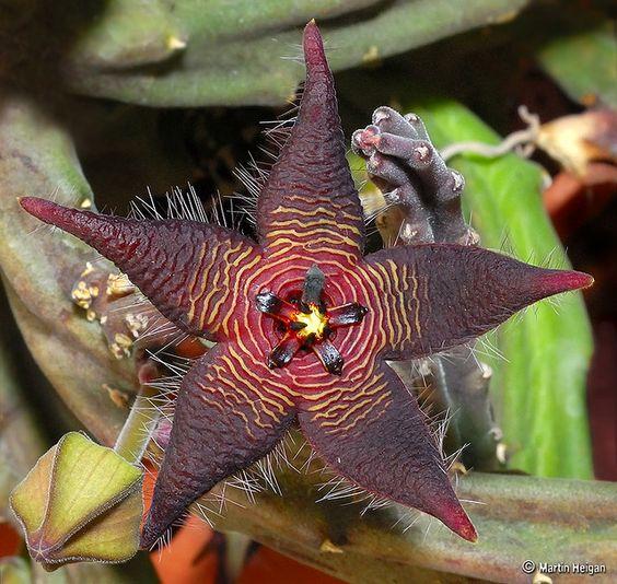 Stapelia cedrimontana flower & bud