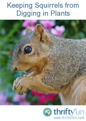 Keeping squirrels from digging in plants gardens - How to keep squirrels from digging in garden ...