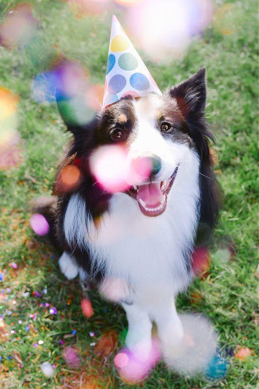Открытки с днем рождения с собакой колли