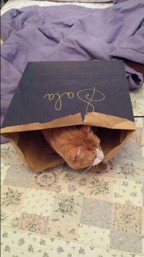 Perché i gatti si infilano nei sacchetti?