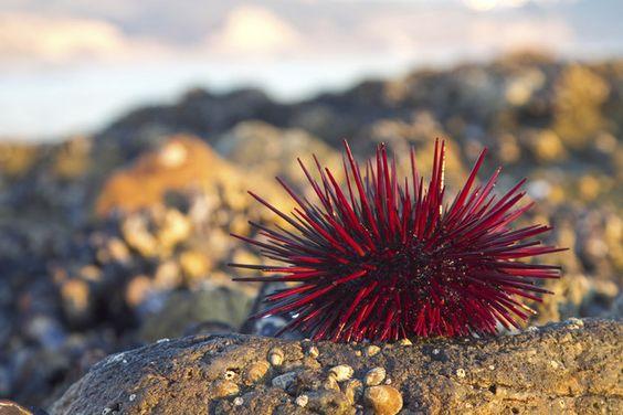 Un erizo de mar hace alarde de su trasero tonificado mientras mira la puesta del sol en la costa de California.