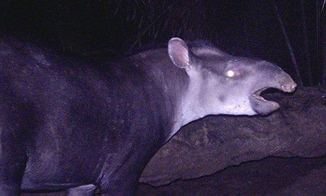 New species of tapir discovered in south-west Amazon, in Brazil and Colombia, Tapirus kabomani.  It is the fifth tapir found in the world and first to be discovered since 1865.