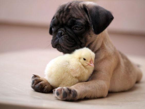 Prietenia neobişnuită dintre un mops şi un pui de găină