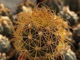 Resultado de imagem para ferocactus
