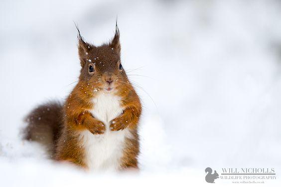Snowy Red Squirrel by Will Nicholls, via 500px