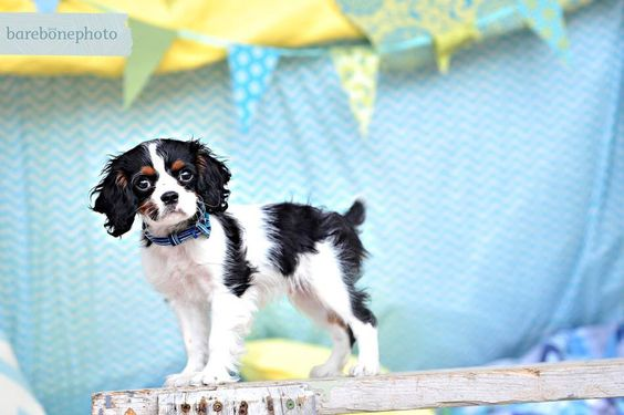 My tail wags so fast it can't be captured in photos! Cavalier King Charles Spaniel.