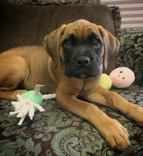 Cane Corso Mastiff Mix Puppy