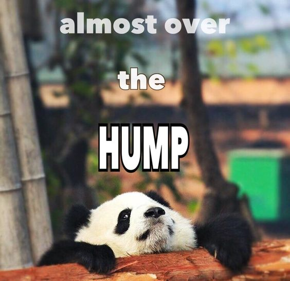 Couldn't resist this funny silly cute kawaii Wednesday humpday baby panda cub meme || A good motivational inspirational weekly struggle || Middle of the week day || Almost over the hump