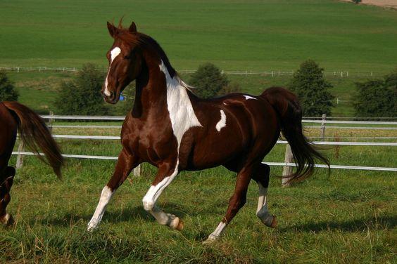 beautiful american horse