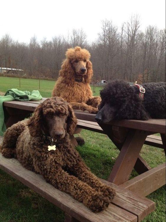 Lounging Poodle Puppy Poodle Dog Standard Poodle