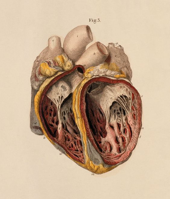 """""""heart: anterior view of internal cavities of the ventricles"""", c e bock, 1879."""