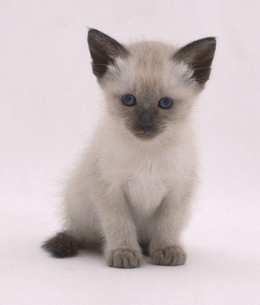 Print of Siamese kitten (Felis catus), sitting up, front view | Cutest  kitten breeds, Siamese kittens, Kitten breeds
