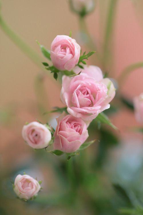 tea roses: