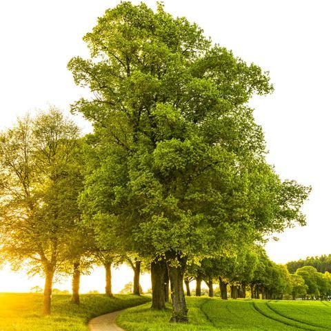 Burly Oak Tree Bur Oak Tree Oak Tree Red Maple Tree