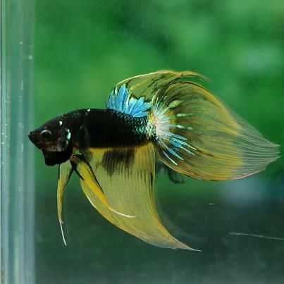 Betta betta fish and veils on pinterest for Betta fish temp