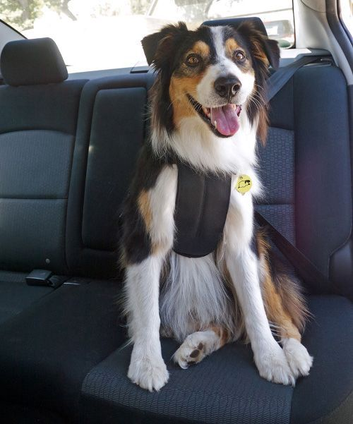 Uber Lyft Taxis With Dogs What Car Services Let You Bring Dogs Dog Safety Harness Dog Safety Unusual Dog Breeds