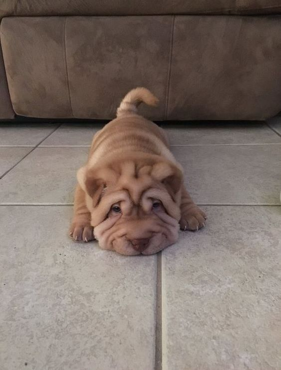150 Best Chinese Shar Pei Dog Names With Images Cute Baby