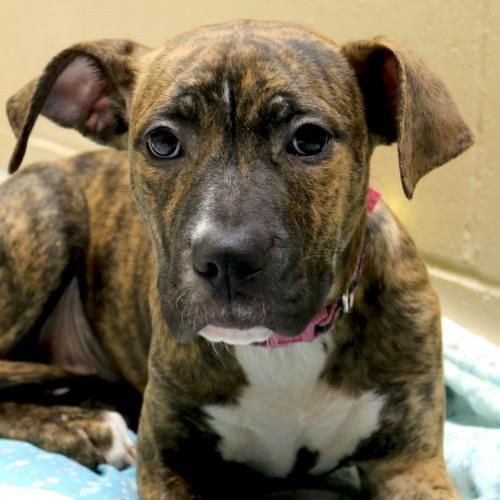 Hi I M Juno I M A 4 Month Old Spayed Female Brindle With White
