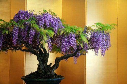 Glycines bonsa and plantes grimpantes on pinterest - Graine de glycine ...