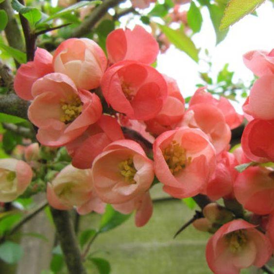 cognacier | cognassier du japon, chaenomeles superba pink lady