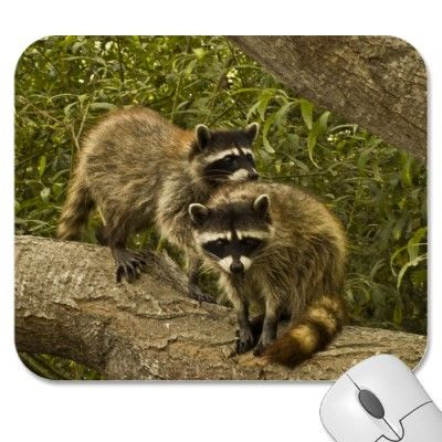 Raccoons Mouse Pads #gift #photogift #zazzle