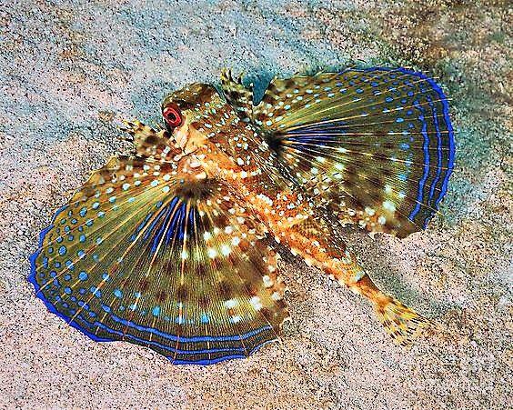 Flying Gurnard On Sand In Carribean Sea Schone Meerestiere Wassertiere Meerestiere