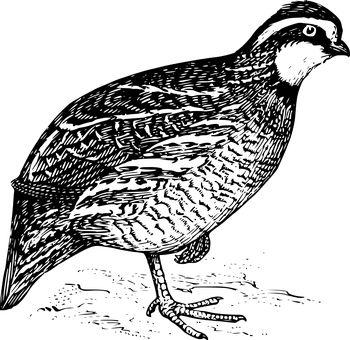 Bird Quail Avian Wildlife Fauna Quail Quai