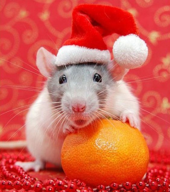 37 best Rat fashion images on Pinterest | Pet rats, Hamsters and ...