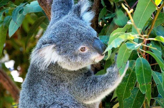 Koala in the leaves