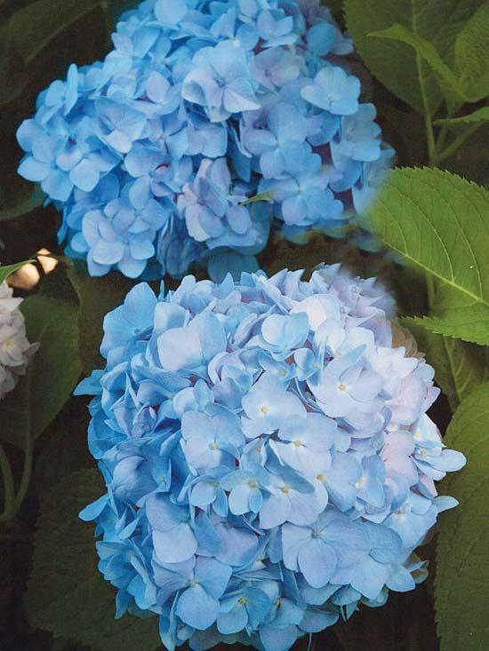 Create an easy care shrub garden endless summer hydrangea blue hydrangea and shrubs - Caring hydrangea garden ...