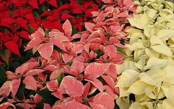 Did you know Ancient Aztecs used poinsettia sap to cure fevers: