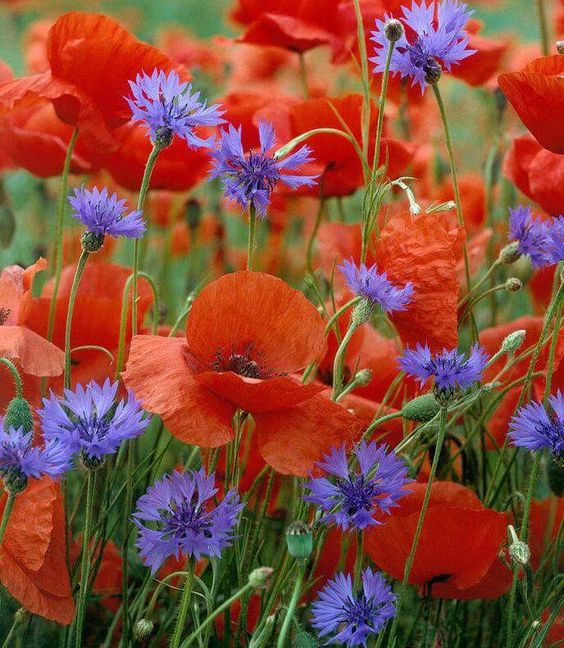 Beautiful cornflowers mixed with poppies