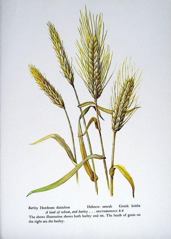 Barley Print - Vintage 1957 Botanical Print with Bible ...