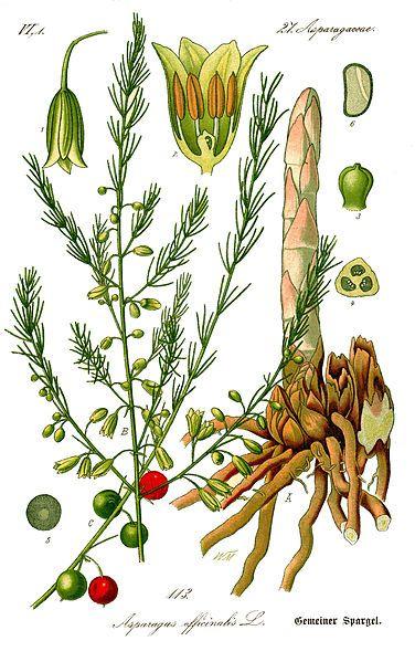 """Asparagus detail botanical drawings from book """"Flora von Deutschland, Österreich und der Schweiz'' 1885, by rof. Dr. Otto Wilhelm Thomé (wikimedia commons)"""