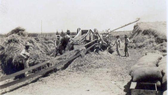 Desde el inicio de la colonización se disponían de trilladoras para cereal, primero de vapor y más tarde movidas por la polea de un tractor. Este es uno de los primeros modelos transformados que yo conozco.