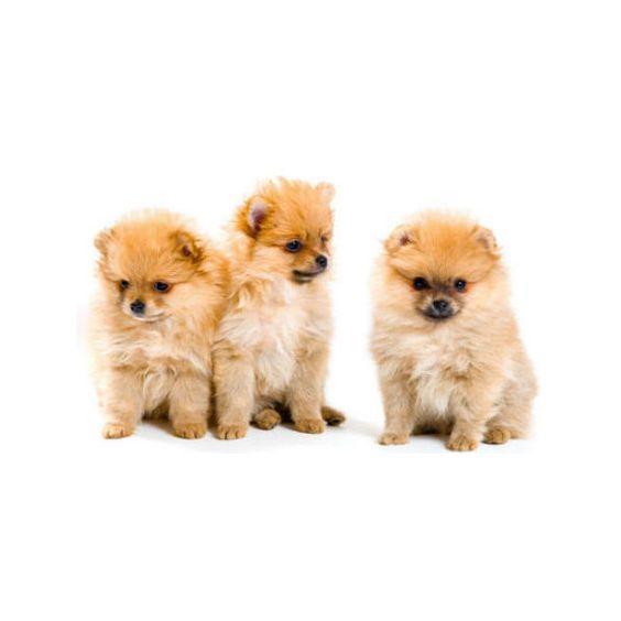 Pomeranian Dogs Puppies Pomeranians Teacup Pomeranians ❤ liked on Polyvore
