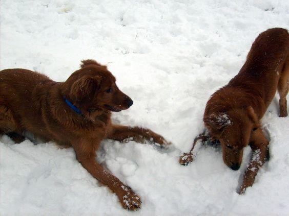 More fun in the snow: Irish Setter, Pets, Snow, Fun,  Red Setter