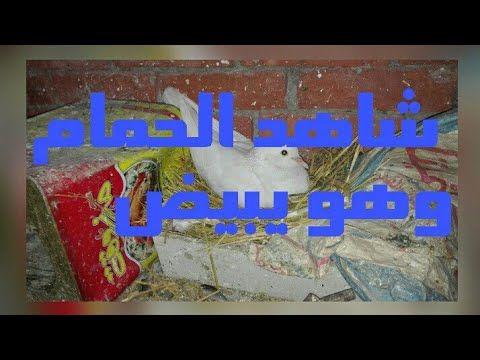 شاهد الحلقه31 كيف يبنى الحمام عشه من البدايه حتى يبيض الحمام Youtube
