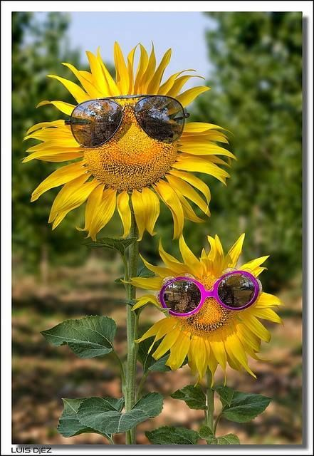 Sunflowers with sunglasses funny cute spring flowers pretty sunflowers spring flowers