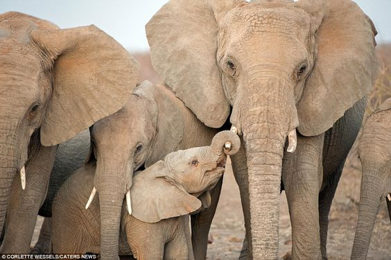 Cute snaps of this adorable baby elephant reaching out his trunk to grab onto his mum's tu...