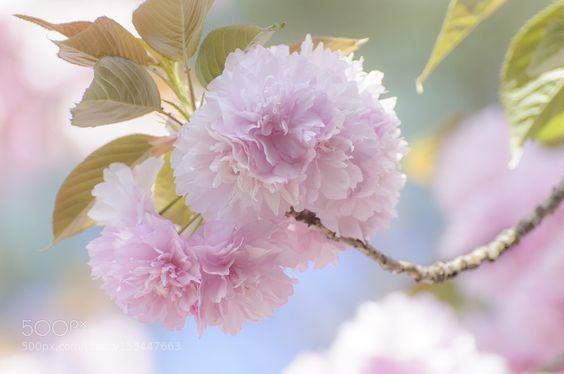soft blossoms by filsaahd. @go4fotos