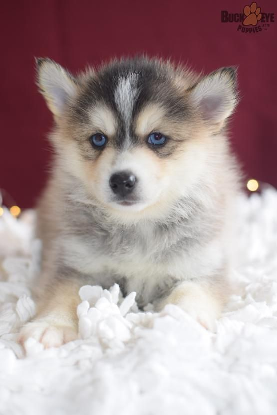 Pomsky Pomskypuppies Pomskypuppy Charming Puppiesofpinterest