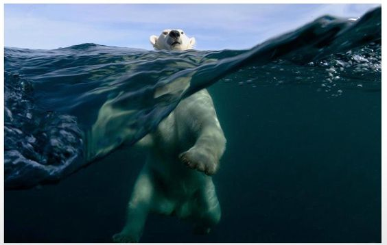 Polar bear is the only bear that can swim in the ocean :)