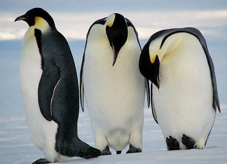 """Emperor Penguin: The World's Greatest Survivor"""