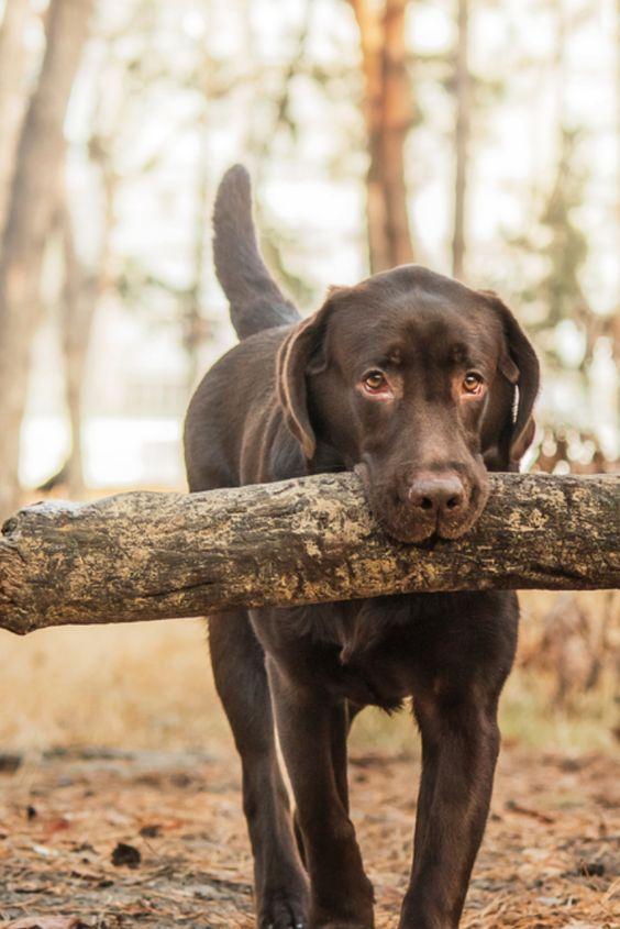 Chocolate Labrador In 2020 Chocolate Labrador Retriever Labrador Dog Labrador