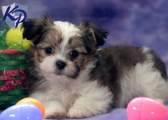 Schnauzer Yorkie Mix For Sale Bella Shih Tzu Mix
