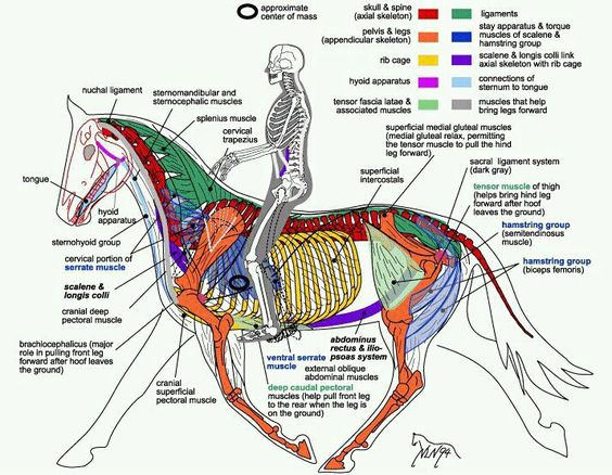 Every rider should learn the basic anatomy of their horse. This will make them better riders, since they will then understand the equine biomechanics.: