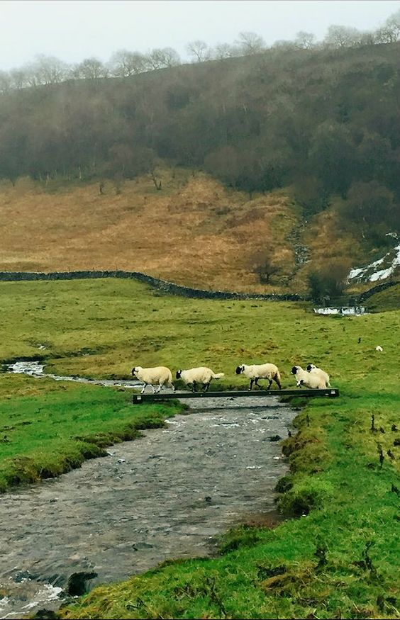 Rush Hour in the Dales Swaledale Sheep, Hill Top Farm, Malham, Yorkshire Dales, England. facebook.com/tqe100