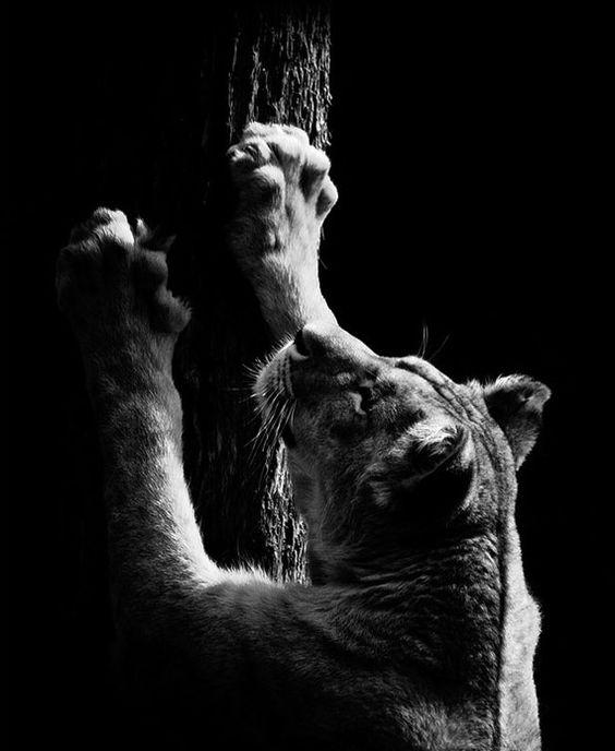 Lionne qui fait ses griffes / Source : Communauté photo GEO, © Nicolas Evariste